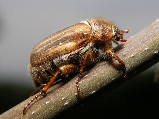 Summer Chafer (Amphimallon solstitiale) photo
