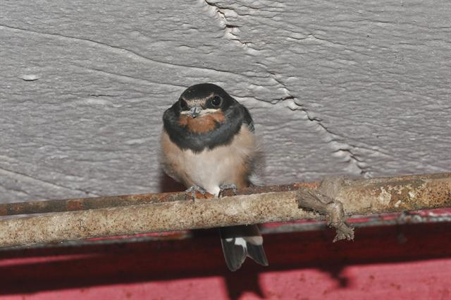 swallow (Hirundo rustica) photo