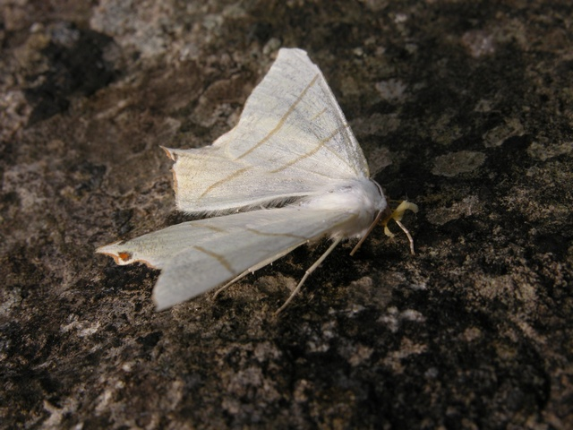 Swallow-tailed Moth (Ourapteryx sambucaria) photo