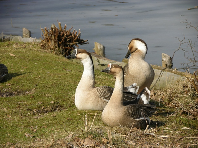 Swan goose (Anser cygnoides) photo