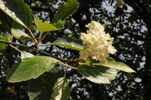 Swedish Whitebeam (Sorbus intermedia) photo