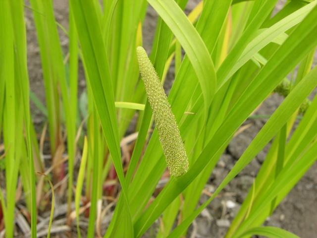 Sweet Flag (Acorus calamus) photo