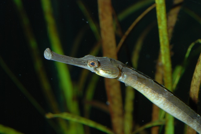 Greater pipefish   (Syngnathus acus)