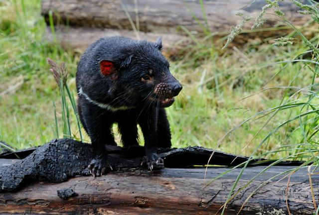 Tasmanian Devil (Sarcophilus harrisii) photo
