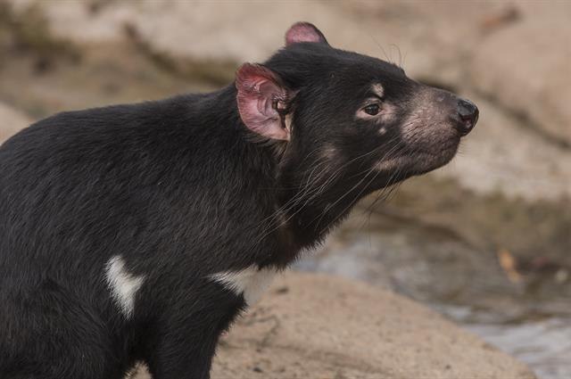 Tasmanian devil (Sarcopilus Harrisii) photo