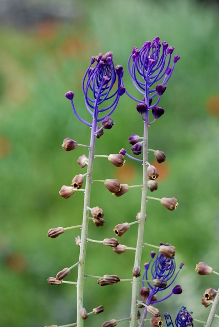 Tassel Hyacinth (Muscari comosum) photo