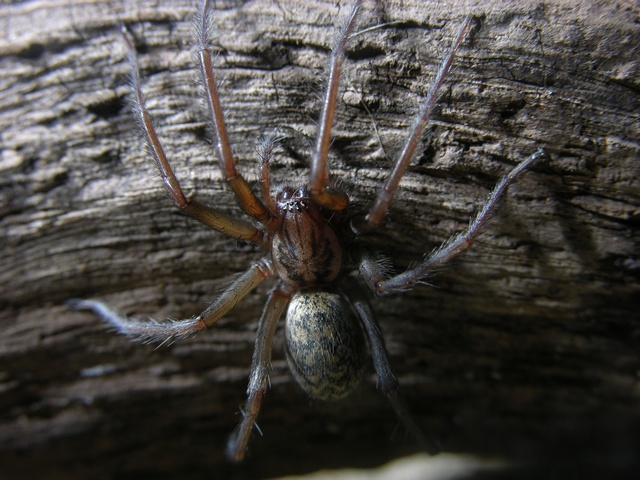 Common Housespider (Tegenaria atrica)