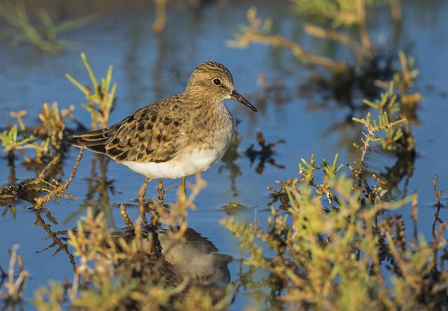 Temminck´s Stint (Calidris temminckii) photo