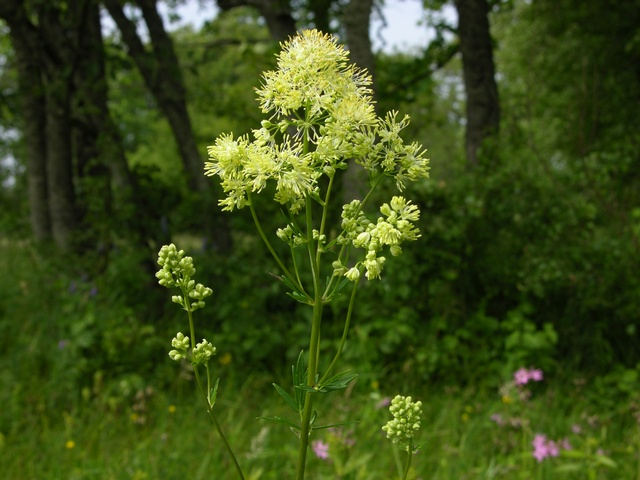 Common Meadow-Rue (Thalictrum flavum)