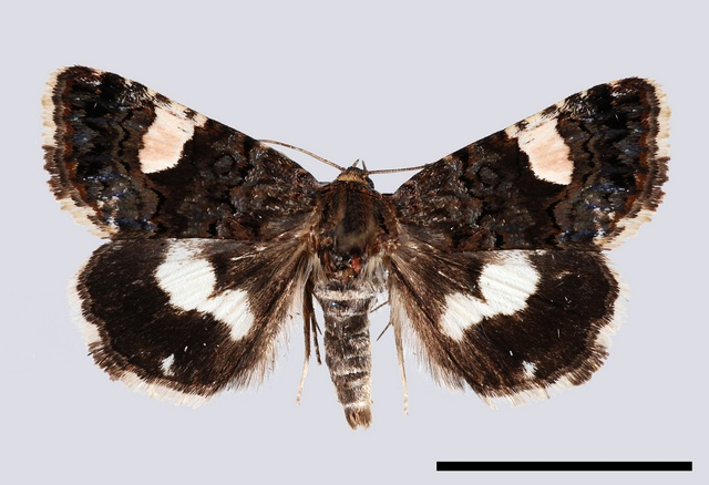 The Four-spotted (Tyta luctuosa) photo