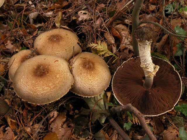 The Prince (Agaricus augustus) photo