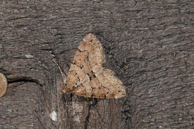 Chestnut-coloured Carpet (Thera cognata)