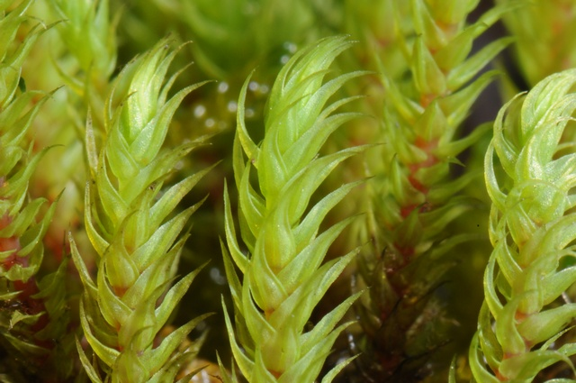 Thick-nerved Apple-moss (Philonotis calcarea) photo