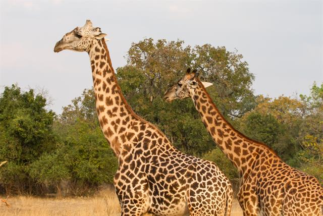 Thornicroft's Giraffe (Giraffa camelopardalis thornicrofti) photo