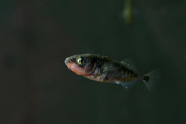 Three-spined stickleback   (Gasterosteus aculeatus) photo