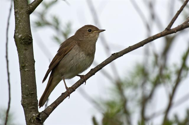 Thrush Nightingale (Luscinia luscinia) photo
