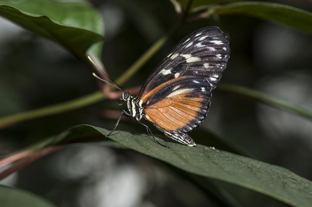 Tiger Longwing (Heliconius hecale) photo