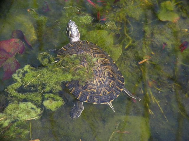 Trachemys scripta elegans photo