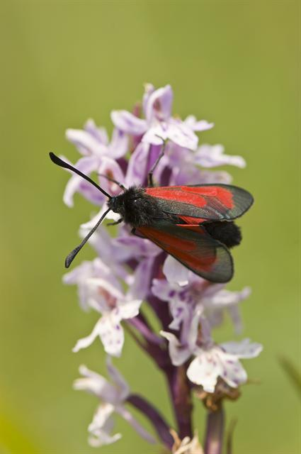 Transparent Burnet (Zygaena purpuralis) photo