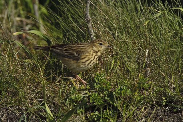 Tree Pipit (Anthus trivialis) photo