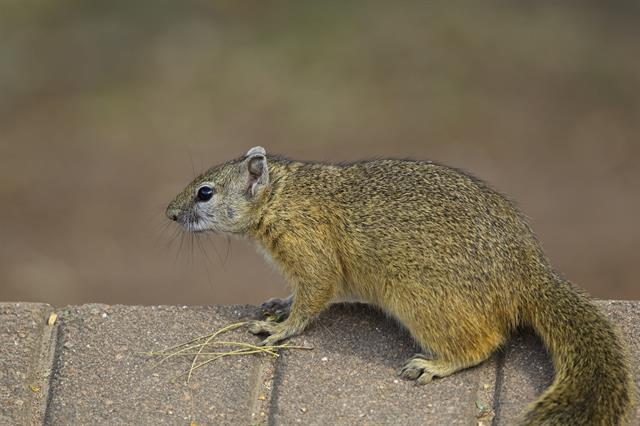 Tree Squirrel (Paraxerus cepapi) photo