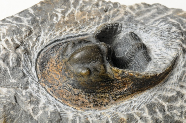Trilobite - Harpes photo