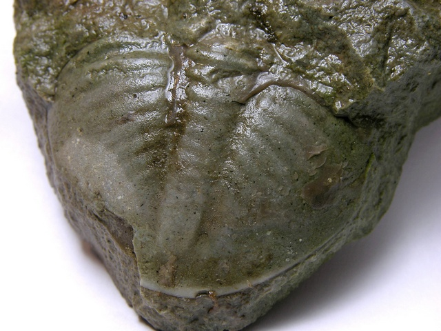 Trilobite - Megalaspis photo