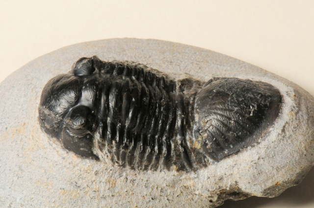 Trilobite - Paralejurus photo