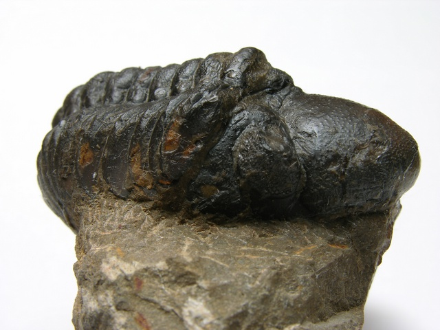 Trilobite - Reedops cephalotes photo