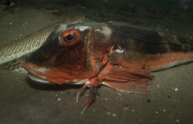 Tub gurnard   (Chelidonichthys lucernus) photo