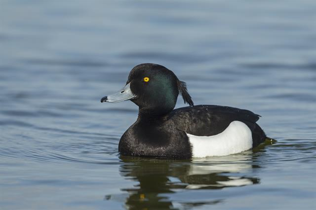 Tufted Duck (Aythya fuligula) photo