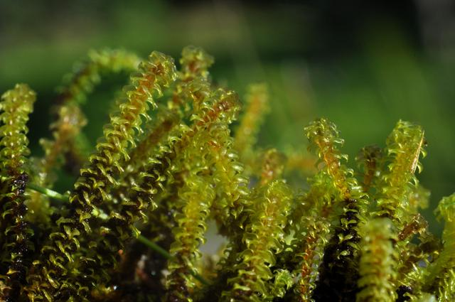 Tufted Fen-moss (Paludella squarrosa) photo