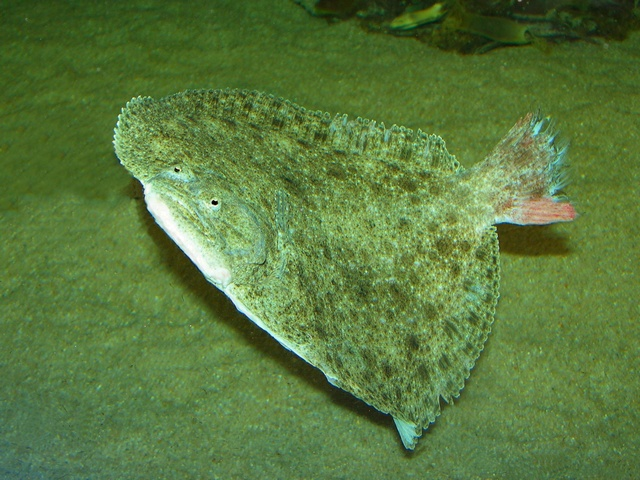 Turbot (Psetta maxima) photo