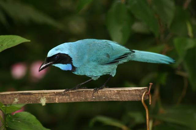 Turquoise Jay (Cyanolyca turcosa) photo