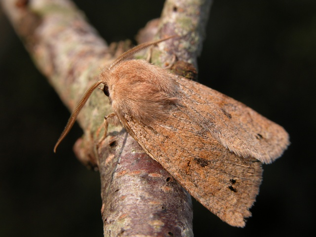 Twin-spotted Quaker (Orthosia munda) photo