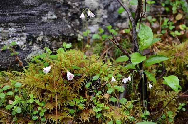 Twinflower (Linnaea borealis) photo