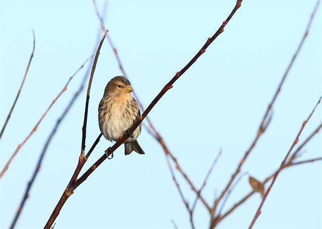 Twite (Carduelis flavirostris) photo