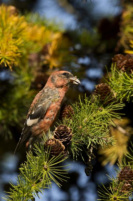 Two-barred Crossbill (Loxia leucoptera) photo