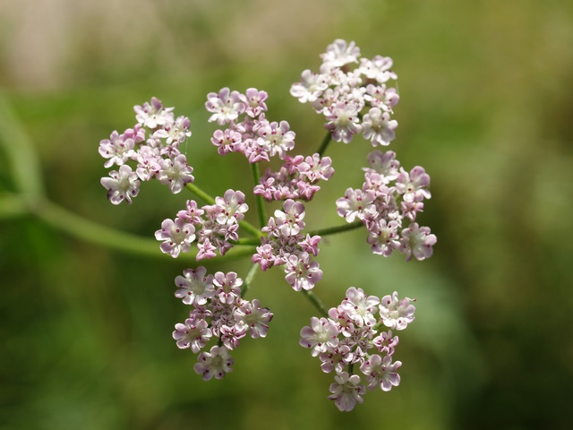 Upright Hedge-parsley (Torilis japonica) photo