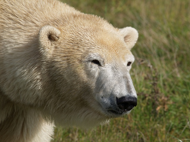 Ursus maritimus, Polar bear (Ursus maritimus) photo