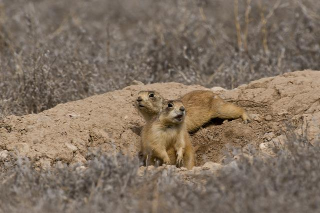 Utah prairie dog (Cynomys parvidens) photo