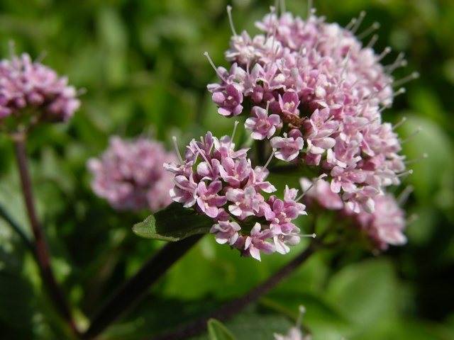 Valeriana supina photo