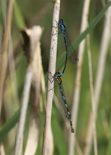 Variable Damselfly Damselfly (Coenagrion pulchellum) photo