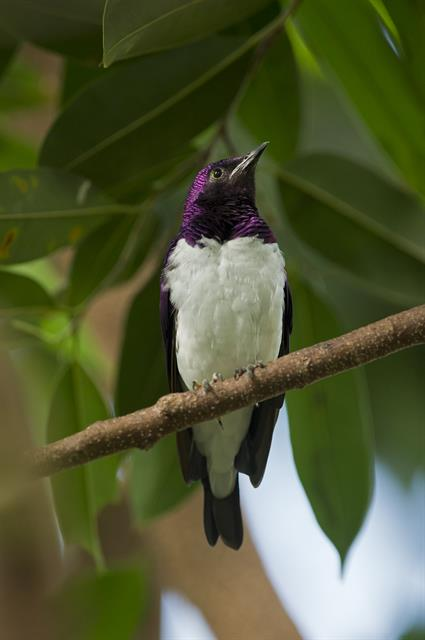 Violet-backed starling (Cinnyricinclus leucogaster) photo