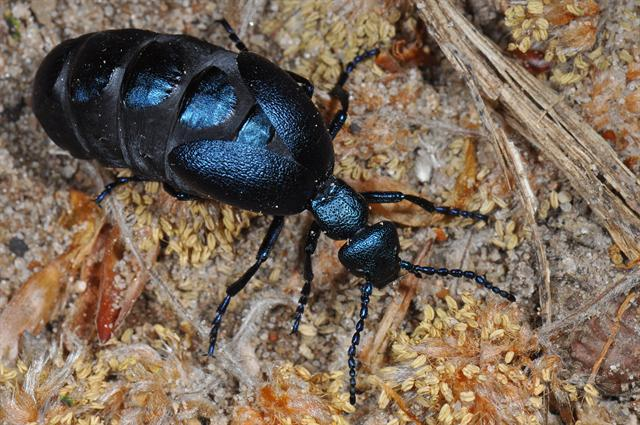Violet Oil Beetle (Meloe violaceus) photo