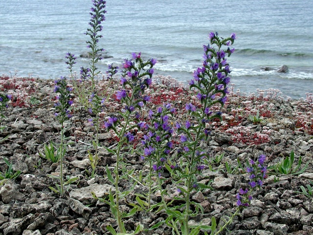 Viper´S Bugloss (Echium vulgare) photo