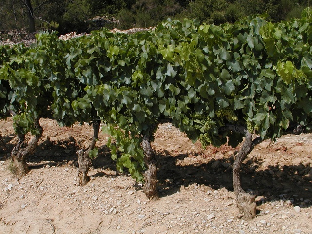 Grape-Vine (Vitis vinifera)