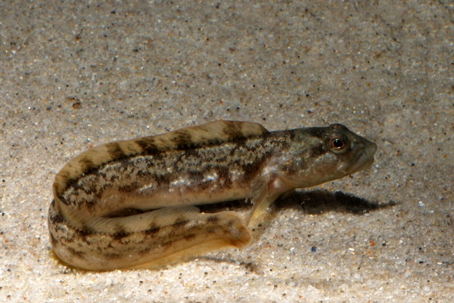 Viviparous blenny, Eelpout (Zoarces viviparus) photo