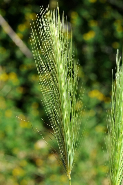 Wall Barley (Hordeum murinum) photo