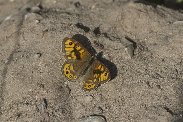 Wall Brown (Lasiommata megera) photo